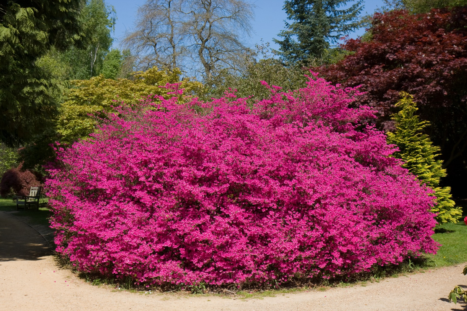 Pink flowering bushes and shrubs 6 cool wallpaper for Pink flowering shrubs