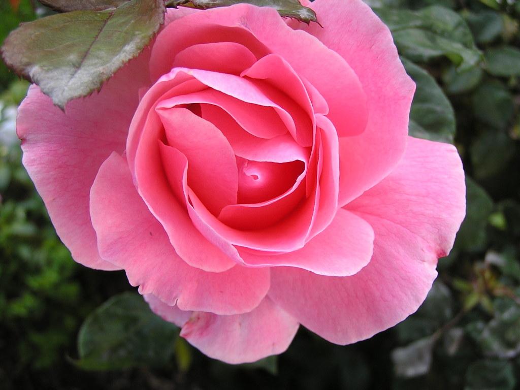 Pink rose flower wallpaper 3 widescreen wallpaper pink rose flower wallpaper free wallpaper mightylinksfo
