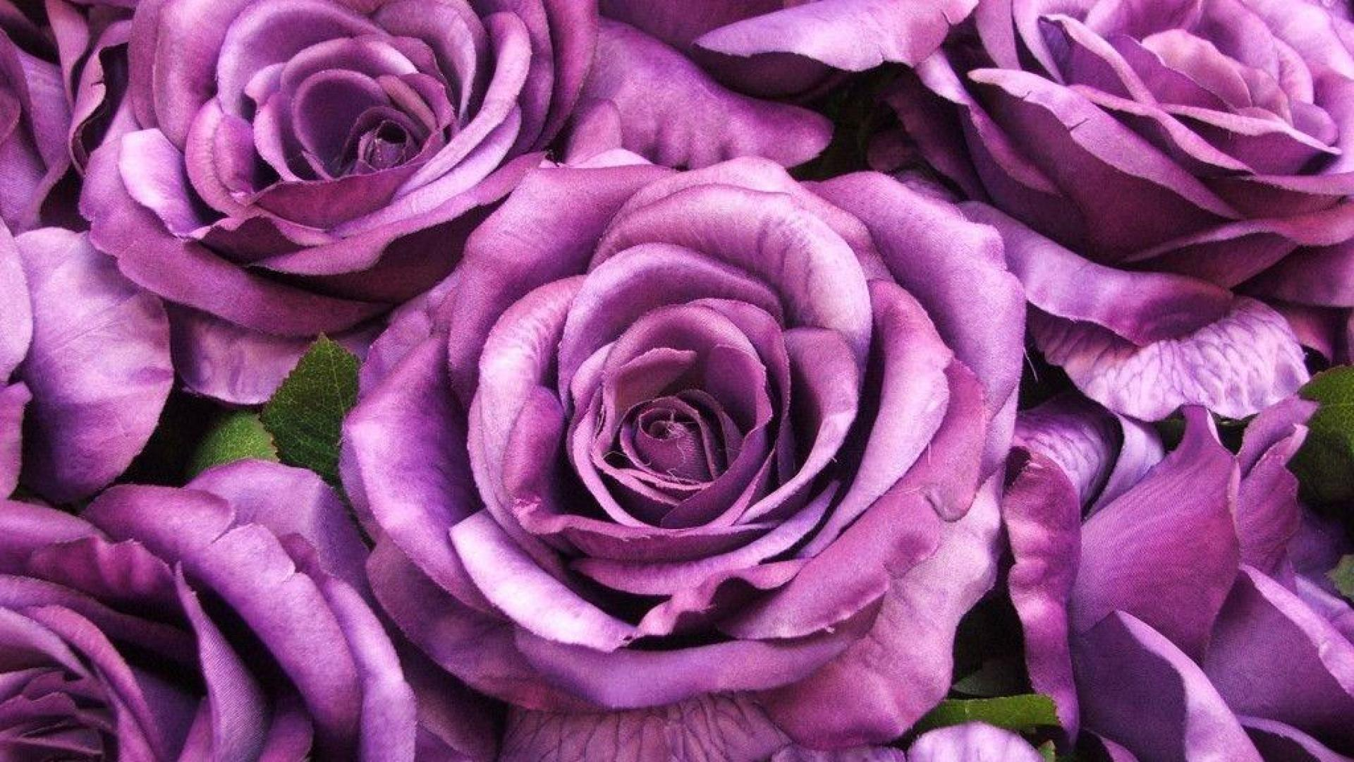 Purple rose flowers 7 free hd wallpaper for Can you get purple roses