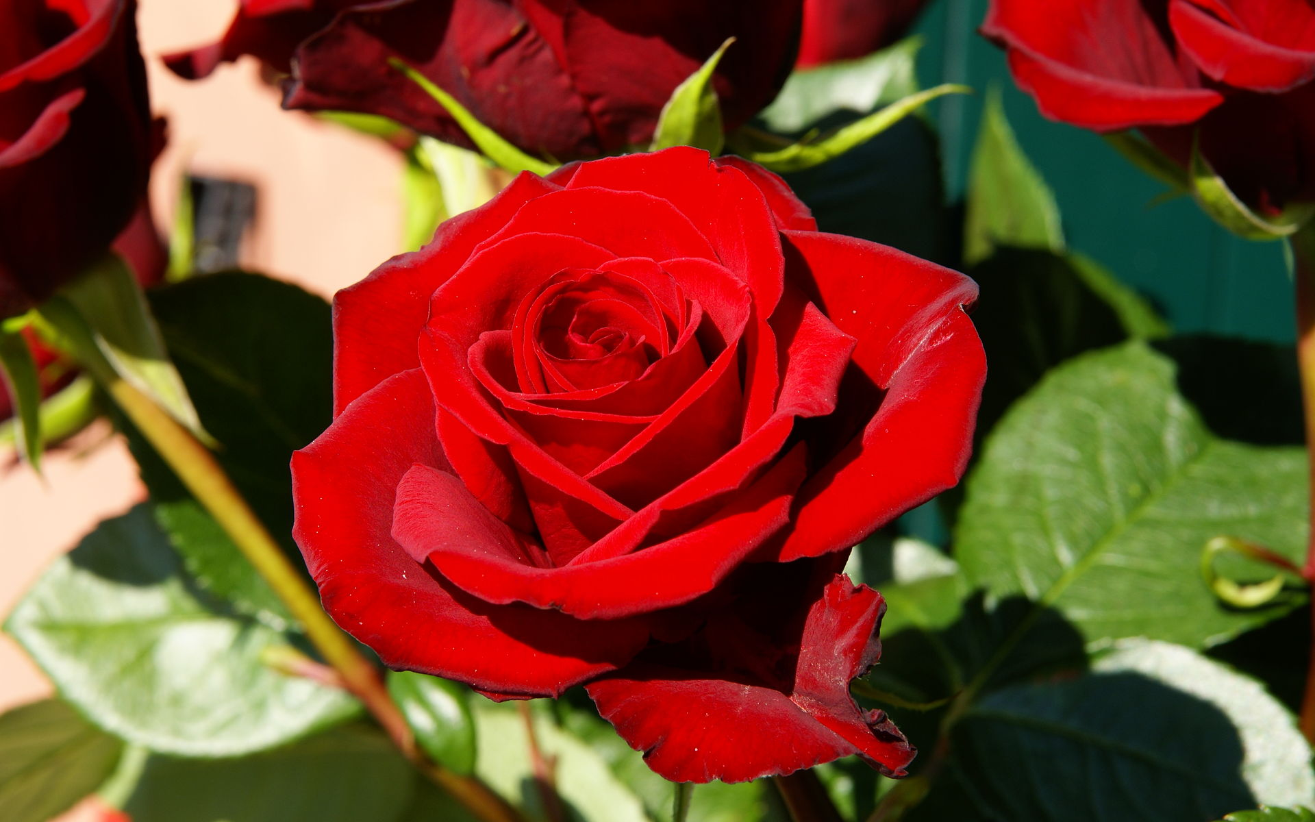 red rose flower images  hd wallpaper  hdflowerwallpaper, Beautiful flower