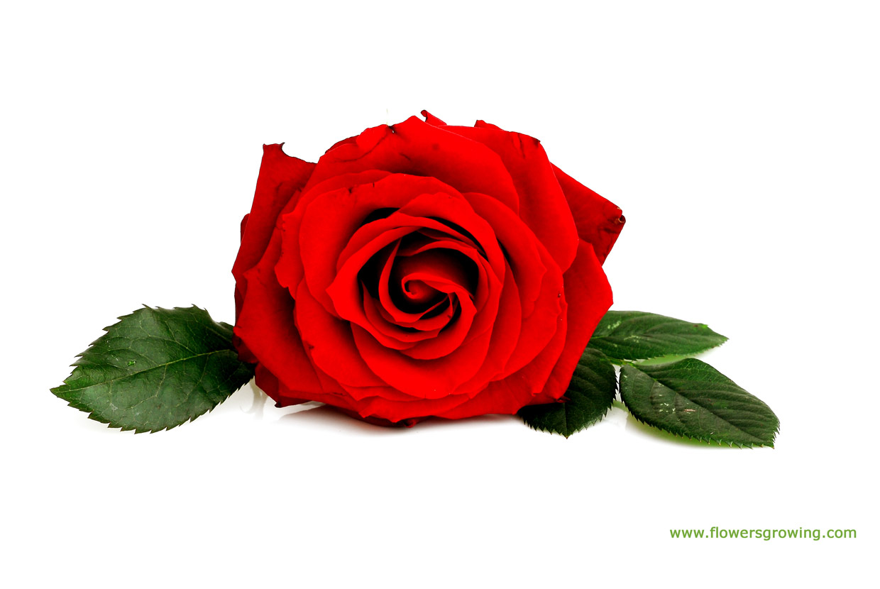 Red rose flower images 6 hd wallpaper - Red rose flower hd images ...