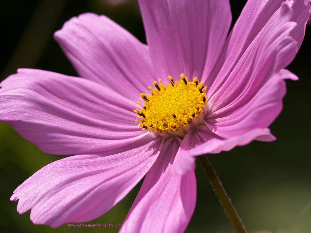 Tall Pink Flowers 29 Free Hd Wallpaper Hdflowerwallpaper