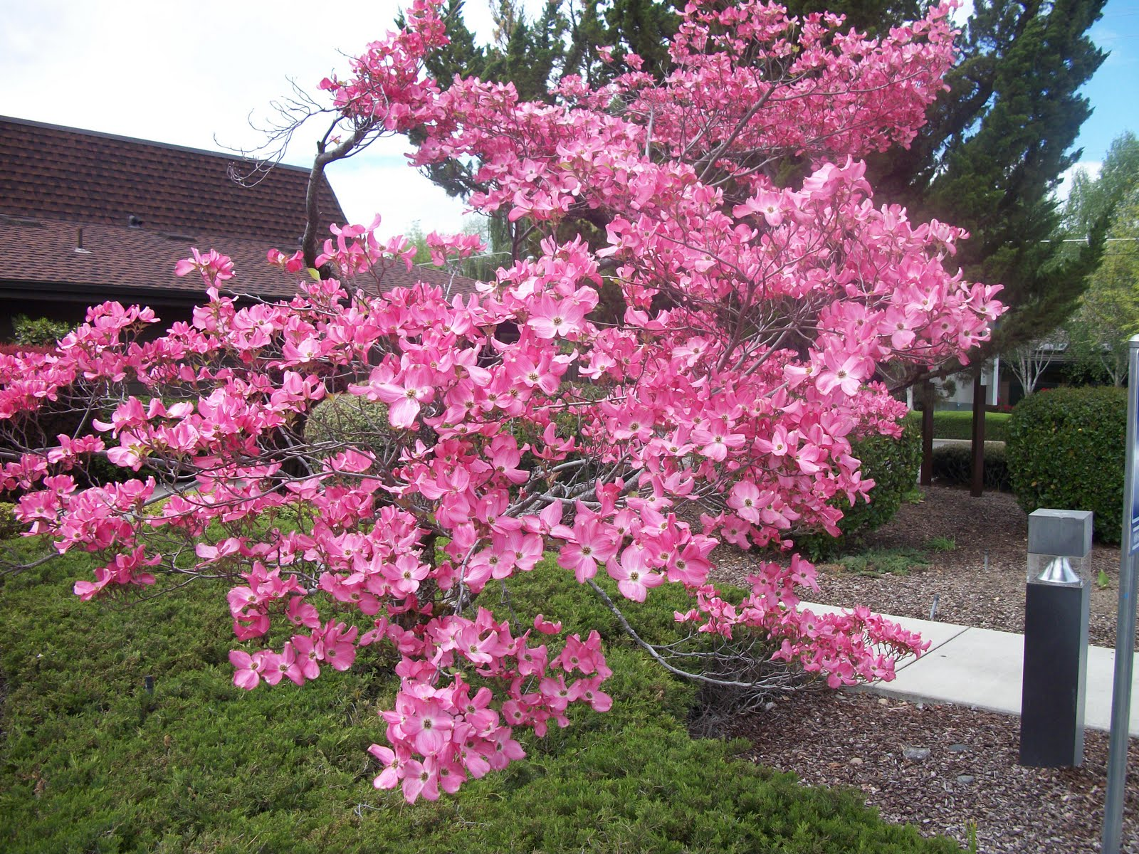Top 28 Tree With Small Pink Flowers Loudounnursery