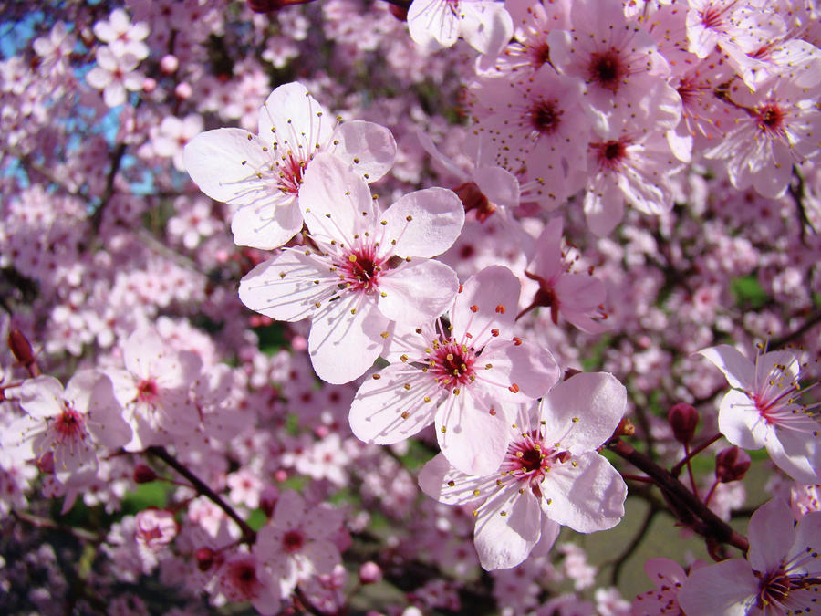 Tree with pink flowers 19 wide wallpaper hdflowerwallpaper tree with pink flowers free wallpaper mightylinksfo
