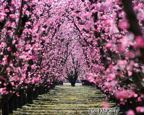 Tree with pink flowers 2 background hdflowerwallpaper tree with pink flowers hd wallpaper mightylinksfo