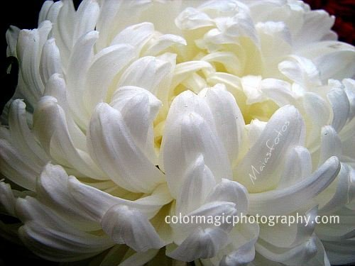 White flowers chinese meaning 18 free hd wallpaper white flowers chinese meaning free wallpaper mightylinksfo