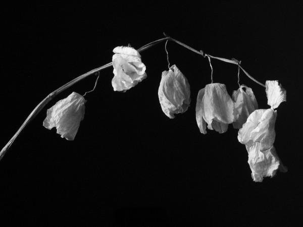 White flowers death 16 desktop wallpaper hdflowerwallpaper white flowers death background mightylinksfo