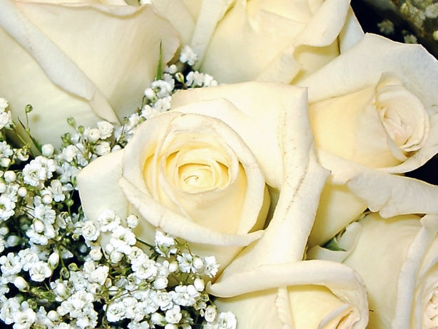 White rose flower images 8 hd wallpaper hdflowerwallpaper white rose flower images free wallpaper mightylinksfo