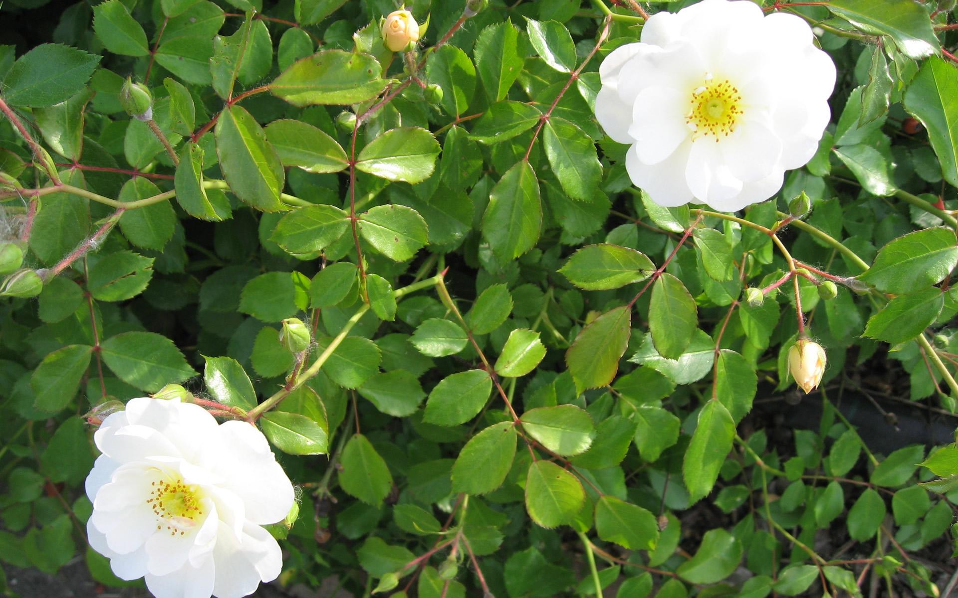White Rose Like Flower 11 Free Hd Wallpaper Hdflowerwallpaper