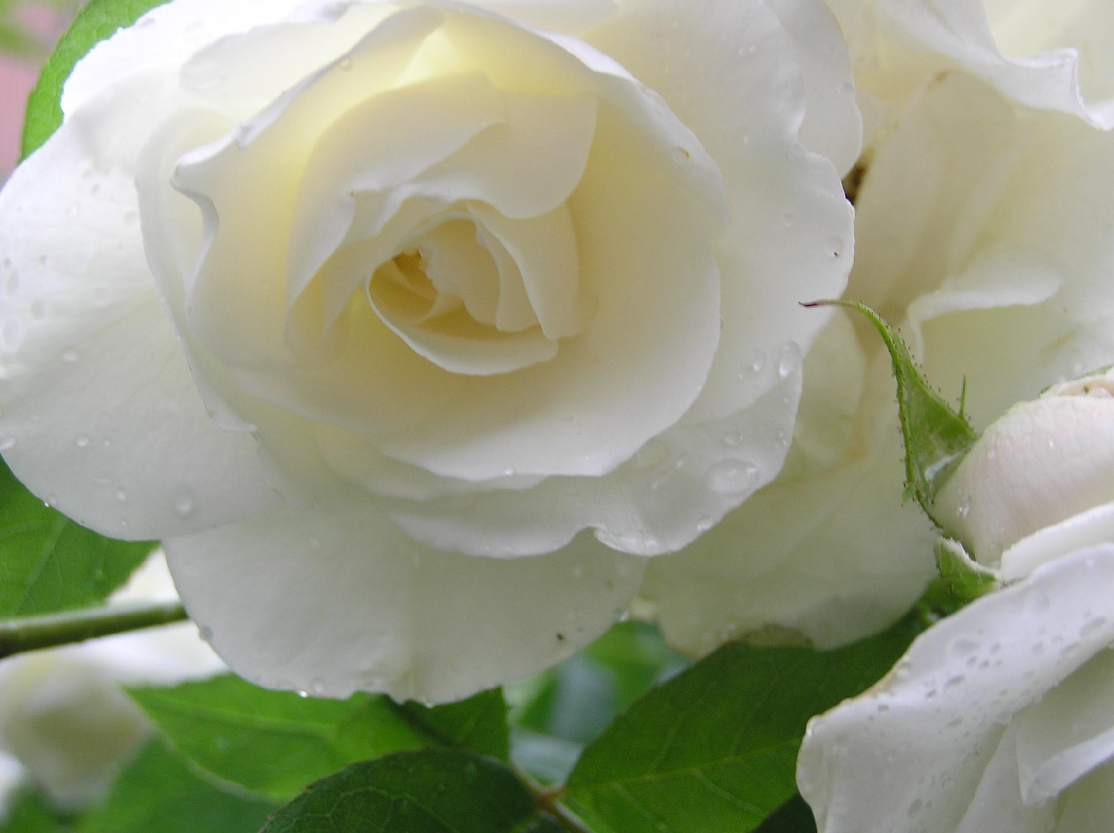 White Rose Like Flower 18 Cool Wallpaper Hdflowerwallpaper