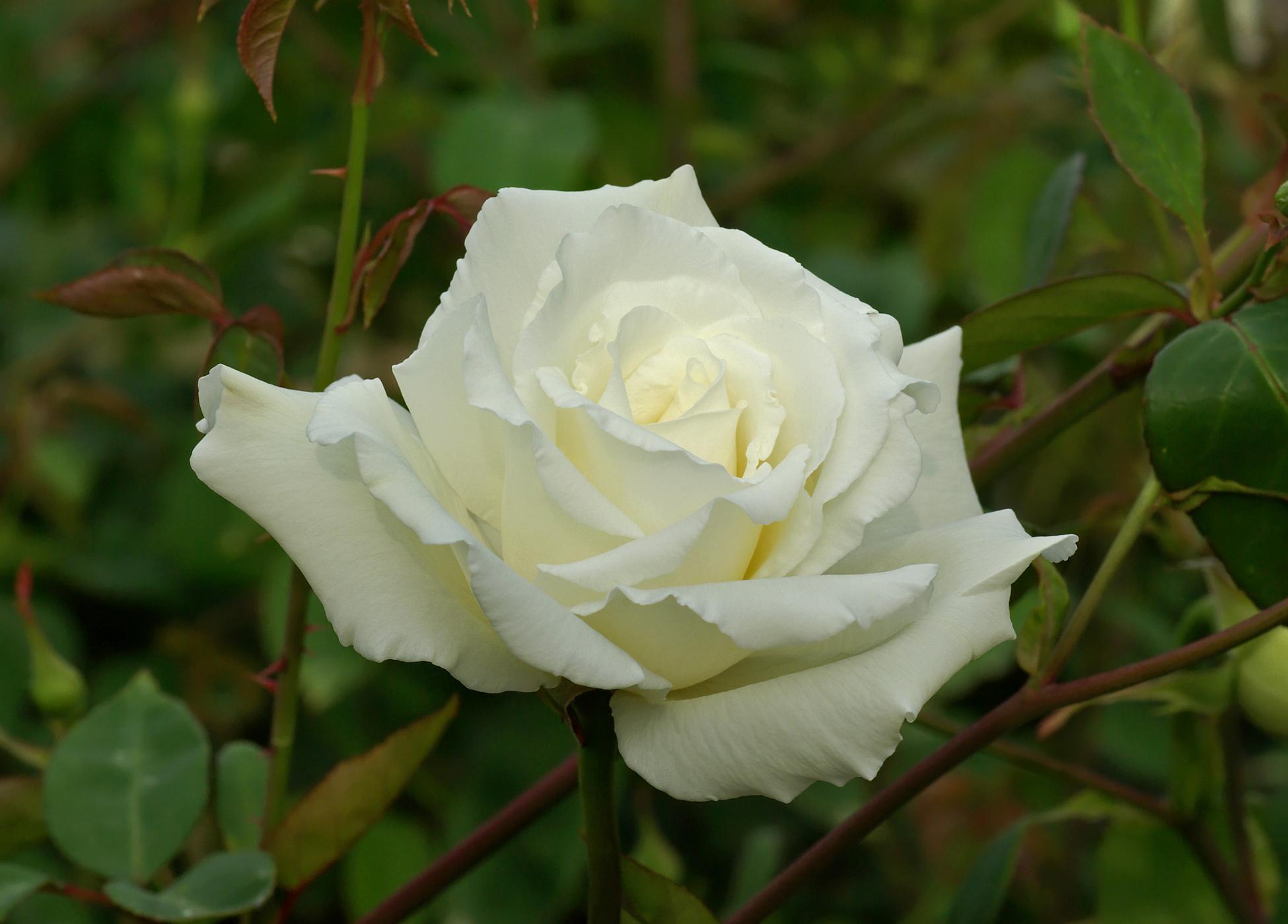 White Rose Like Flower 25 Free Hd Wallpaper Hdflowerwallpaper