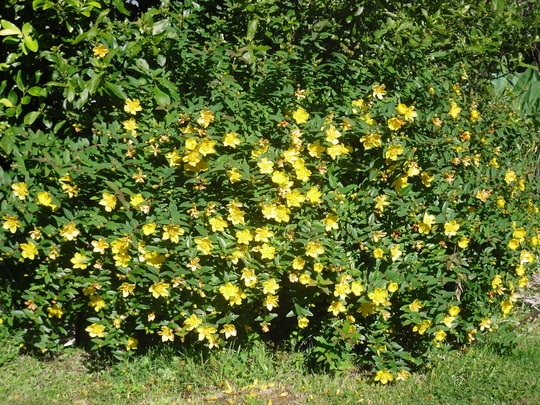Yellow flower bush 13 free wallpaper hdflowerwallpaper yellow flower bush free wallpaper mightylinksfo Images