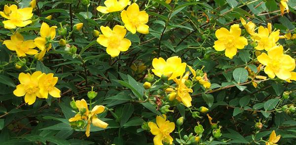 Yellow flower bush 17 desktop background hdflowerwallpaper yellow flower bush hd wallpaper mightylinksfo
