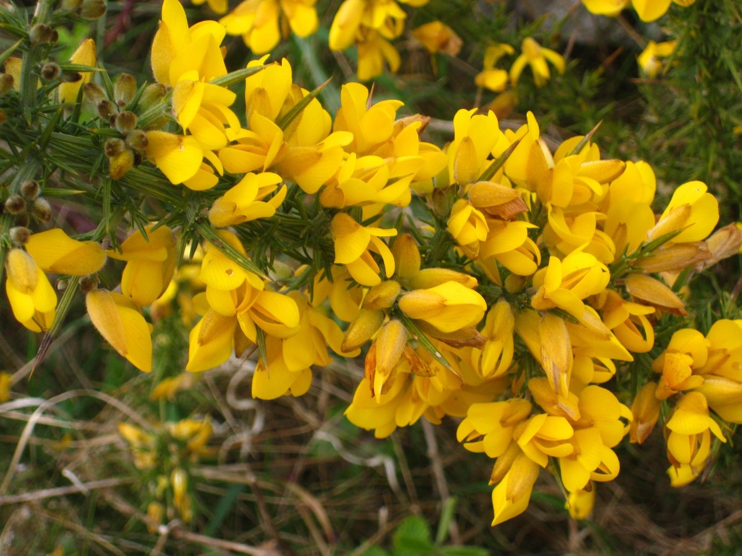 Yellow flower bush 9 background hdflowerwallpaper yellow flower bush free wallpaper mightylinksfo