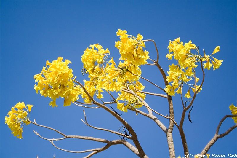 Yellow flowering trees 6 cool wallpaper hdflowerwallpaper yellow flowering trees hd wallpaper mightylinksfo