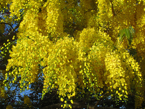 Yellow flowering trees 9 desktop wallpaper hdflowerwallpaper yellow flowering trees hd wallpaper mightylinksfo