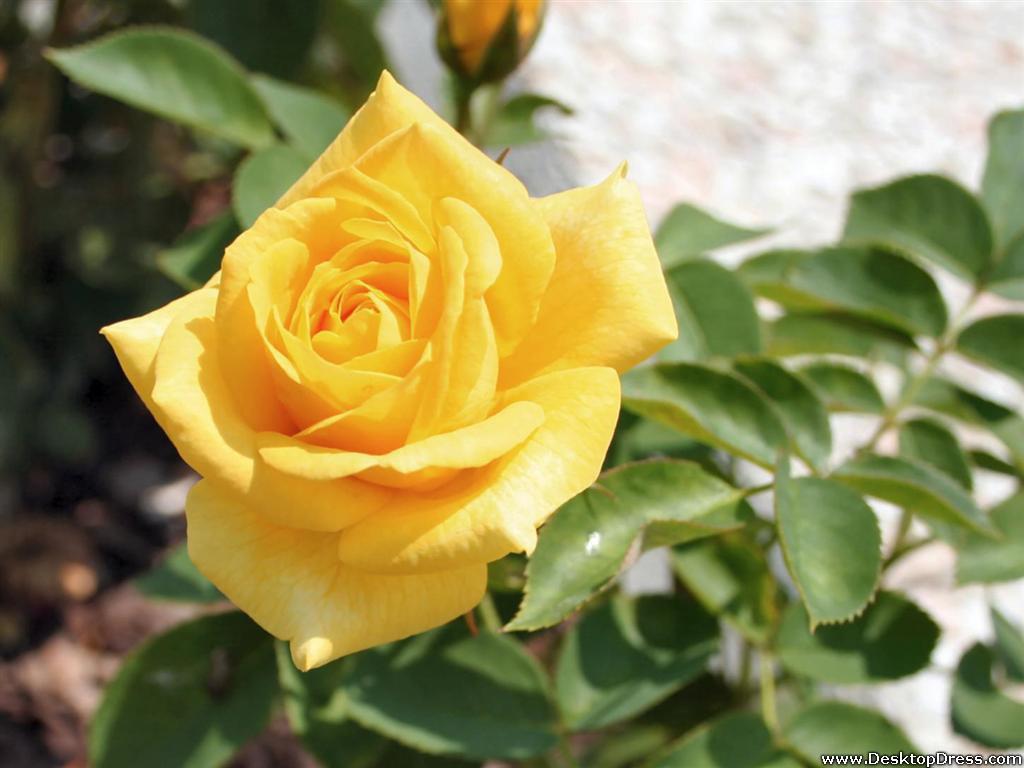 Hd wallpaper yellow rose - Yellow Rose Flowers Images 4 Free Hd Wallpaper