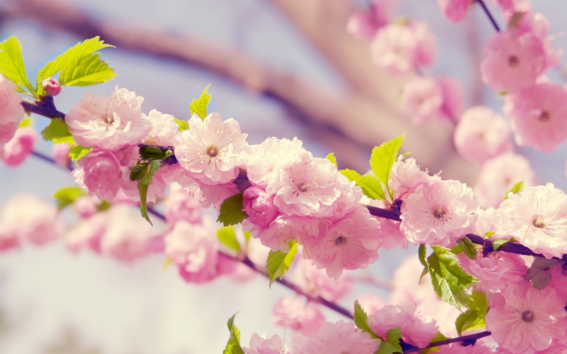 Best Pink Flowers 1 Wide Wallpaper Hdflowerwallpaper