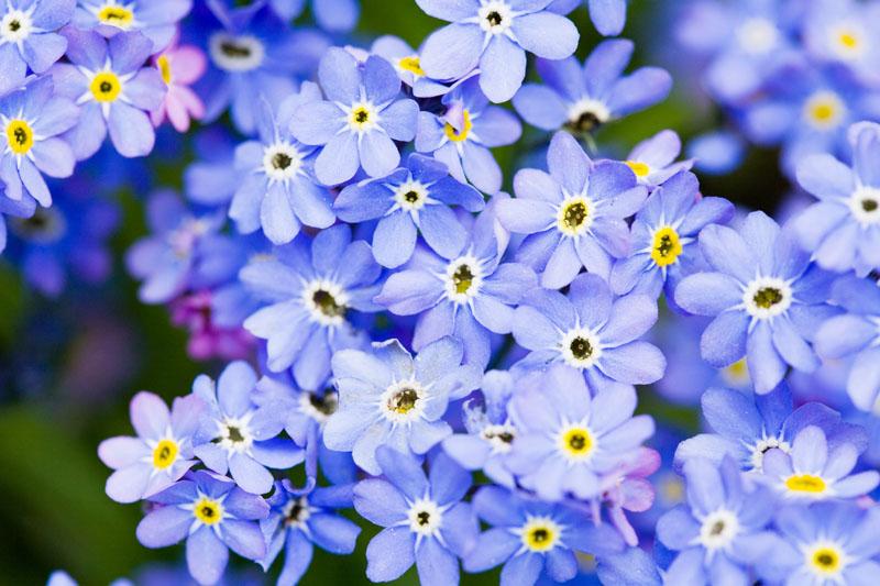Blue flowers in spring 12 free hd wallpaper hdflowerwallpaper blue flowers in spring 12 free hd wallpaper mightylinksfo