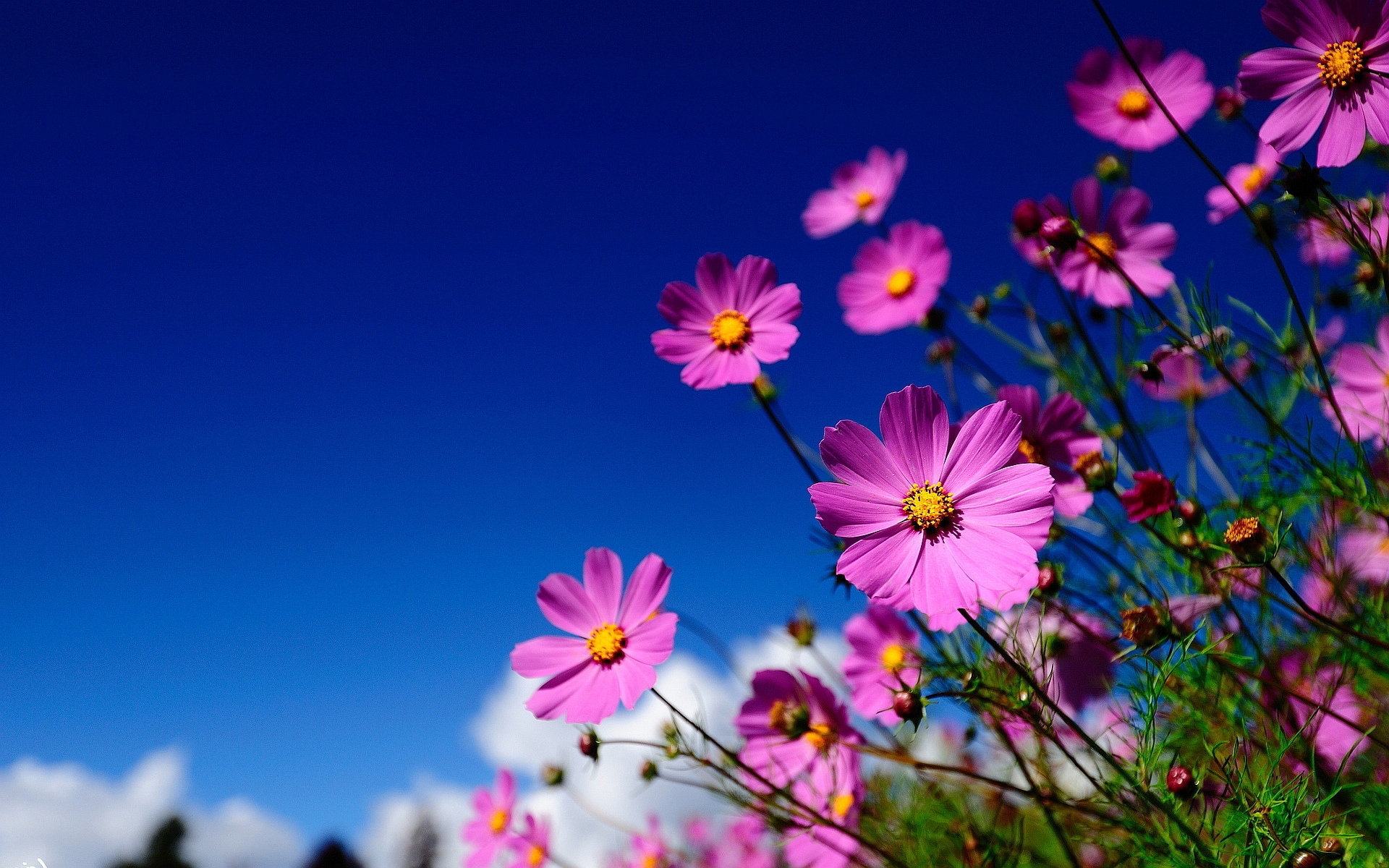 Pink Flowers In Summer 6 Free Wallpaper Hdflowerwallpaper