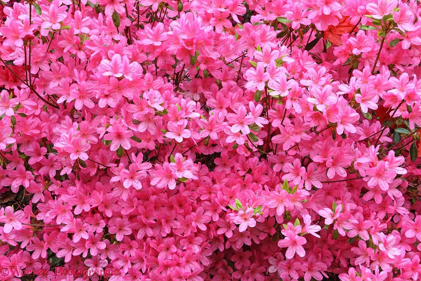 High Resolution Flower Wallpaper: Red Flowers In May 11 High Resolution Wallpaper