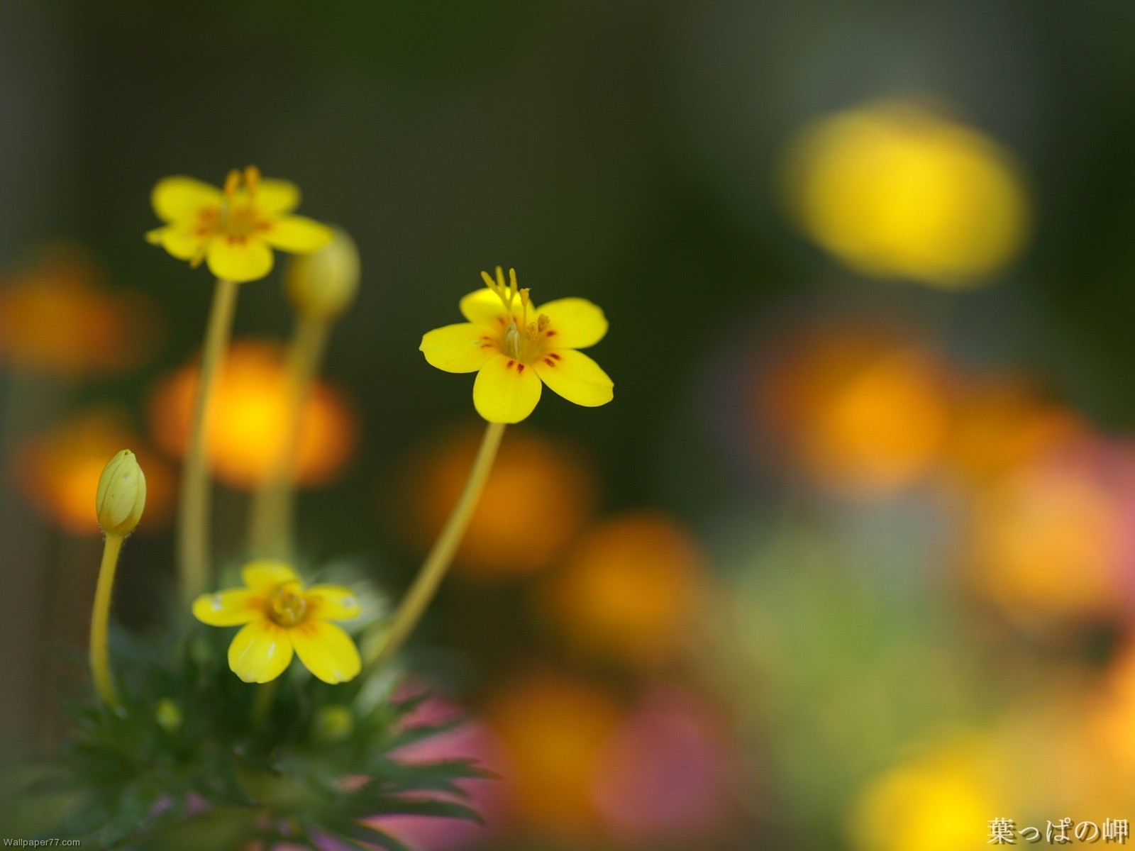 Small Yellow Flowers Hd Wallpaper