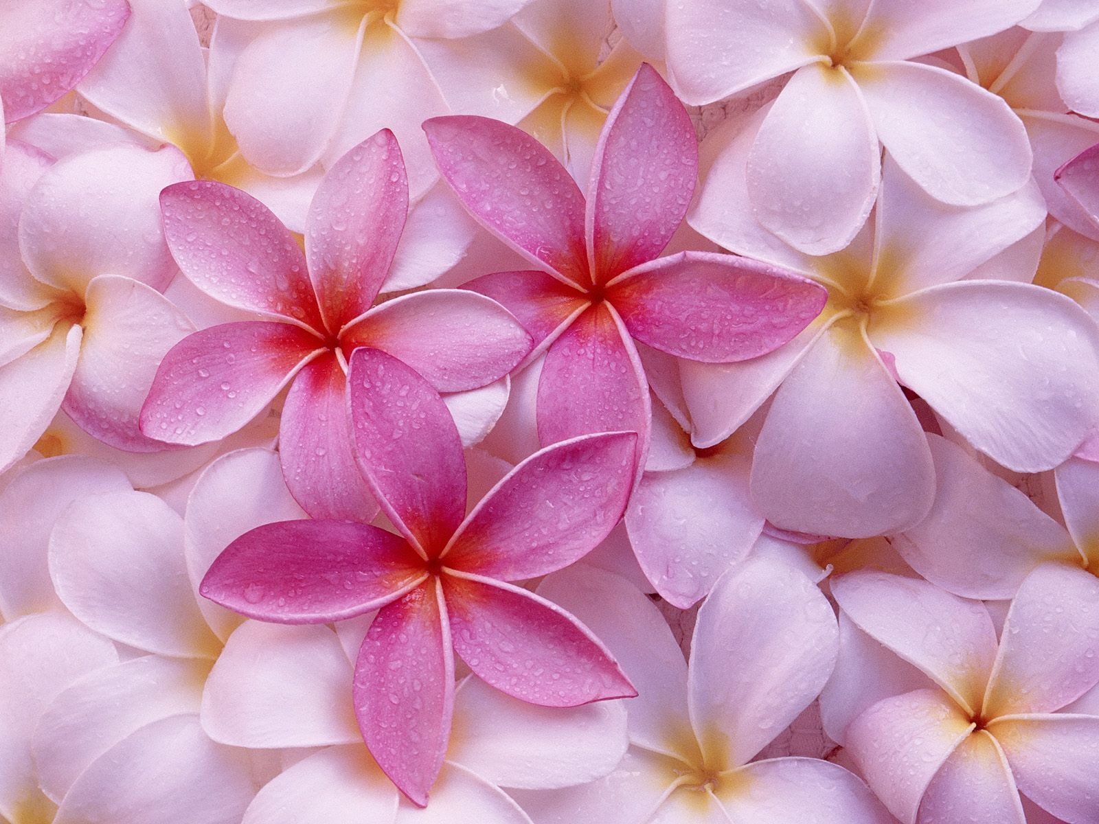 Common Pink Flowers Free Wallpaper