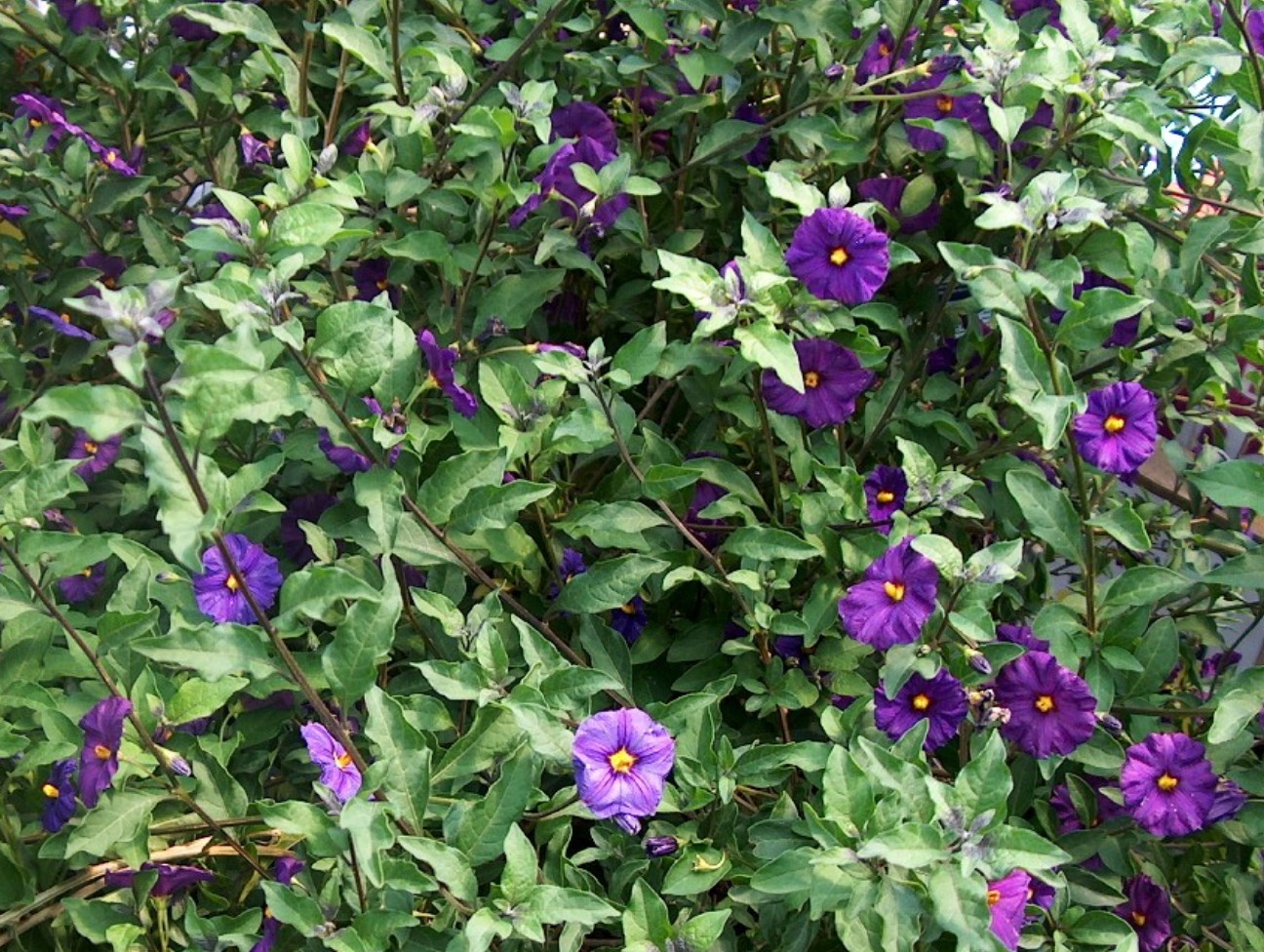 Purple Flowers Bush 8 Hd Wallpaper Hdflowerwallpaper Com
