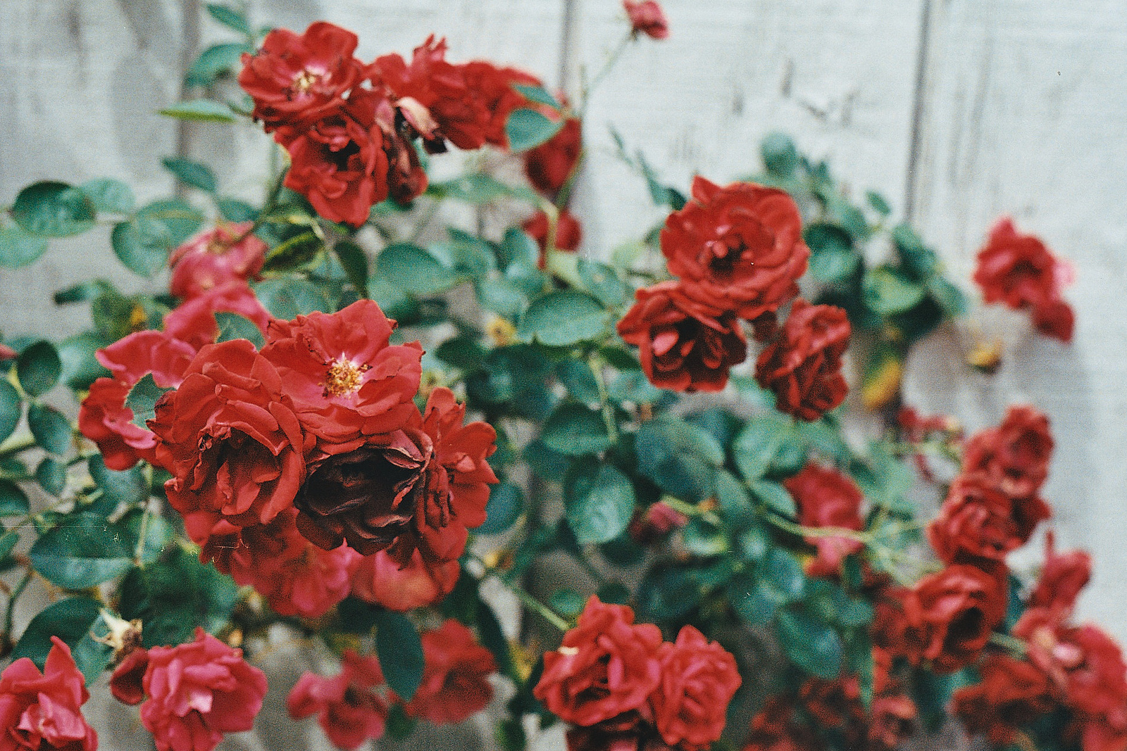 Red Flowers Tumblr 16 Widescreen Wallpaper