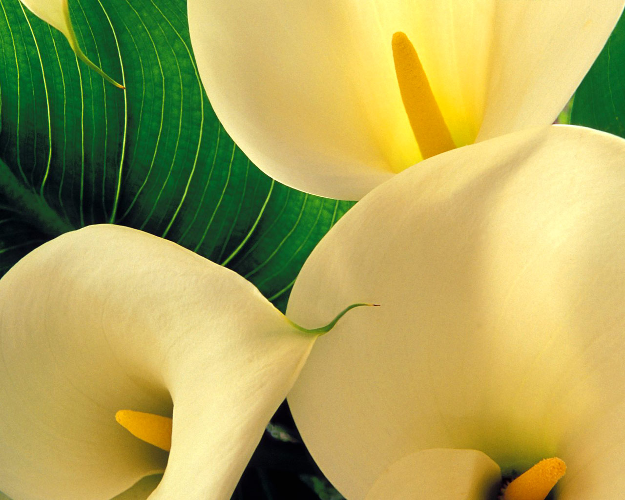 xpx Calla Lilies Wallpaper