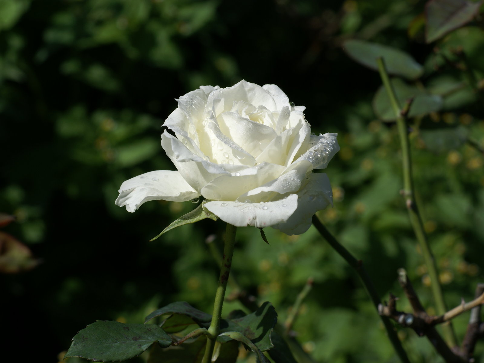 White Rose 10 Desktop Background Hdflowerwallpaper Com