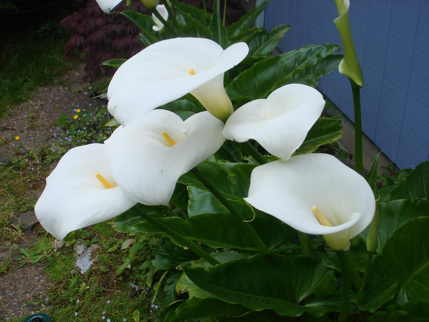 WallpaperMISC Calla Lilies HD Wallpapers Free TOP High Quality