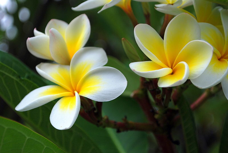 yellow flowers hawaii Free Wallpaper