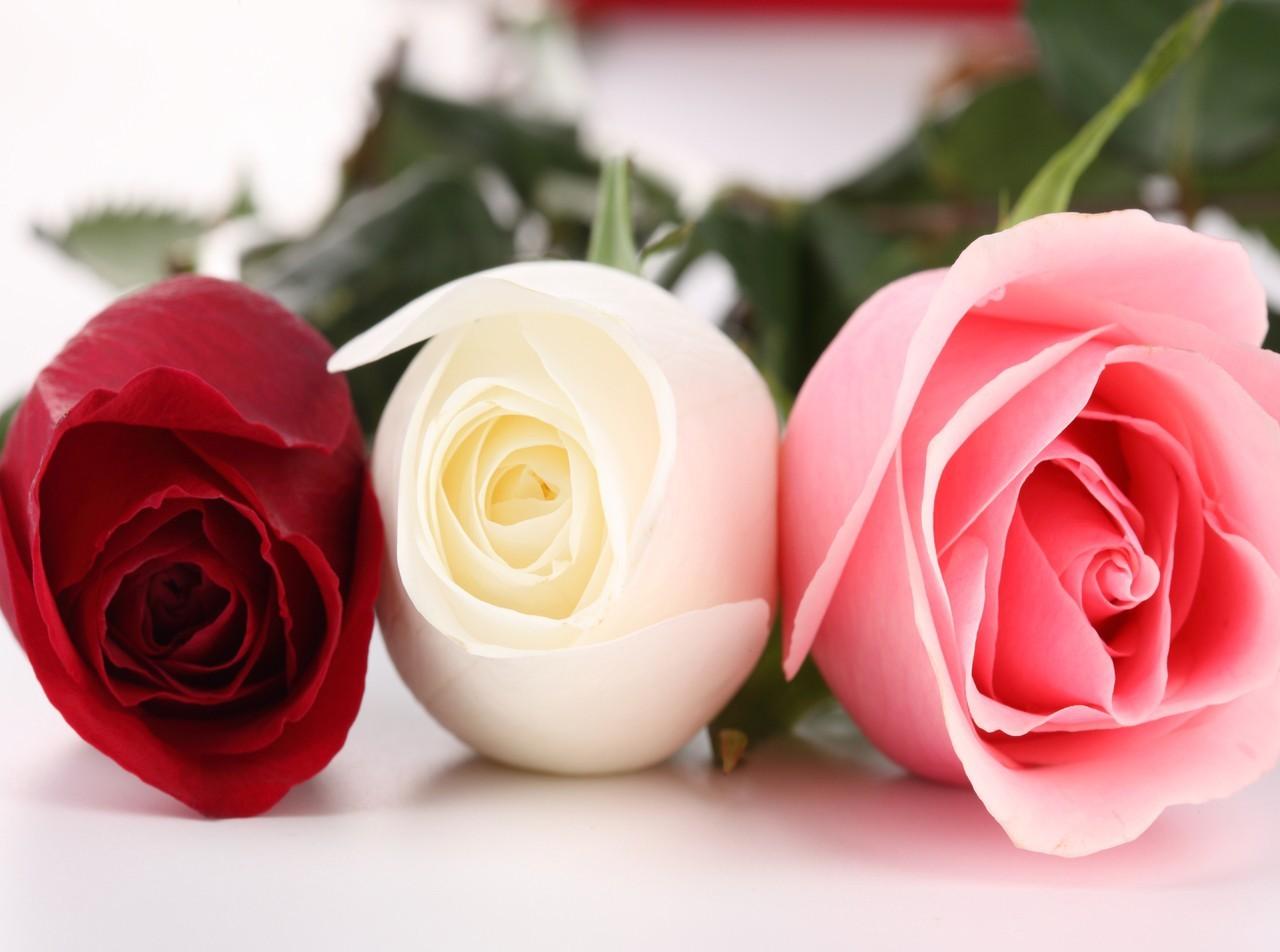 pink rose flowers wallpapers Free Wallpaper