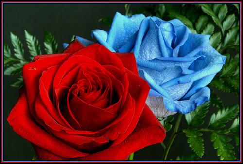 Blue And White Rose Wallpaper 7 Cool Wallpaper Hdflowerwallpaper Com