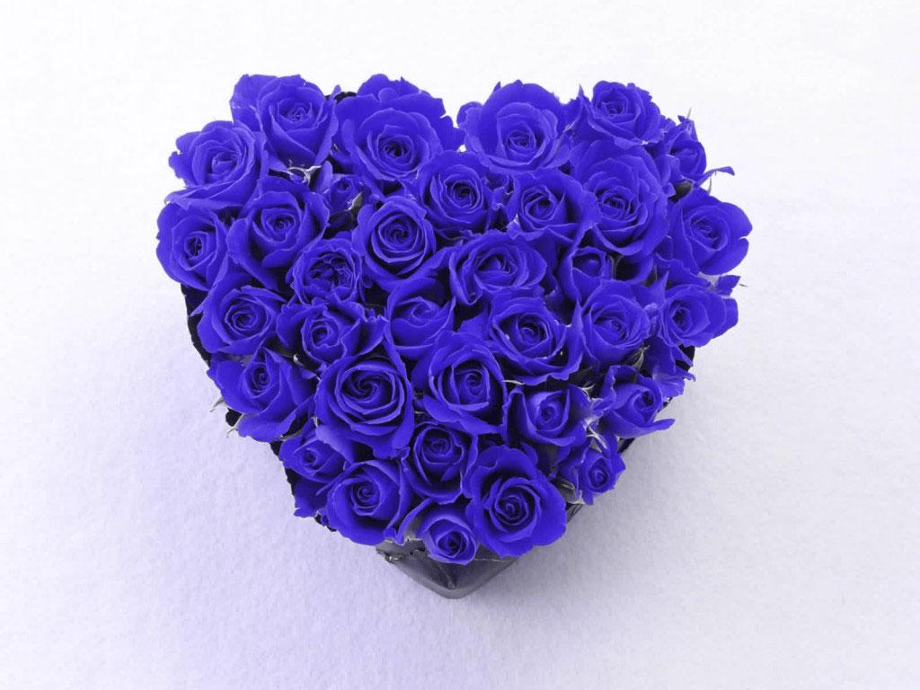 blue rose wallpaper Desktop Background