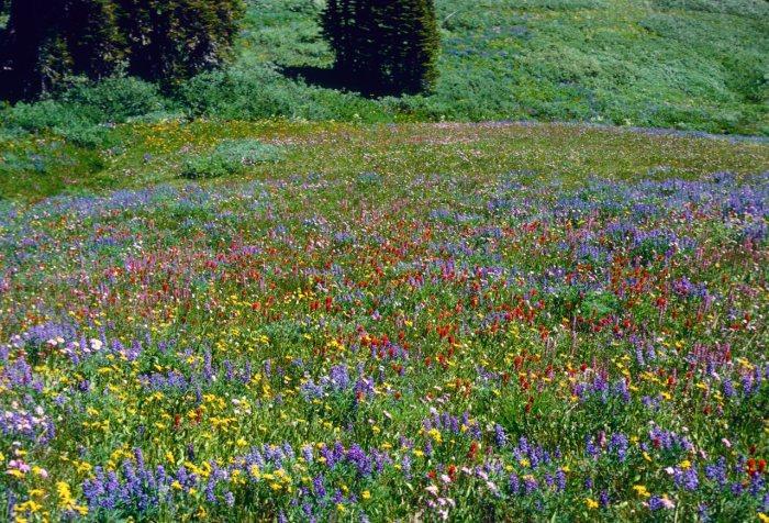Rocky Mountain Wildflowers Photos Background