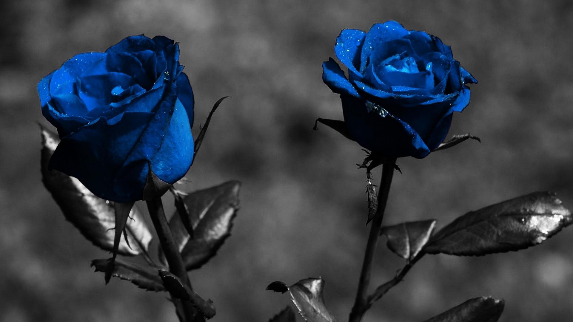 Blue Rose Flower Images 5 Cool Hd Wallpaper Hdflowerwallpaper Com