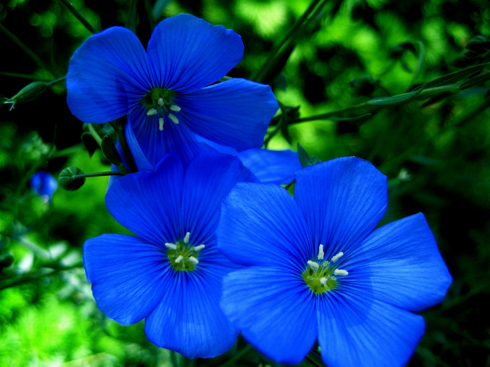 Blue Flowers Garden 10 Free Hd Wallpaper